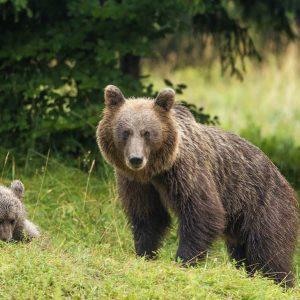 Bear following